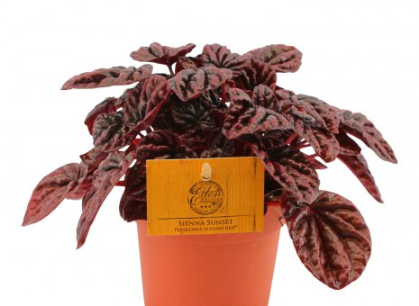 Peperomia schumi red