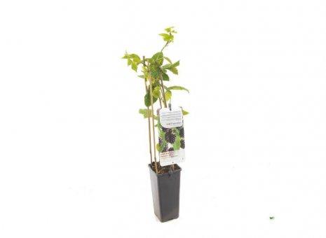 Rubus Thornfree