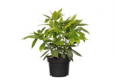 Aucuba japonica 'Variegata