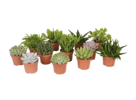 Bambino plantjes