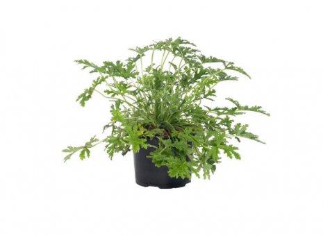 Citroen geranium