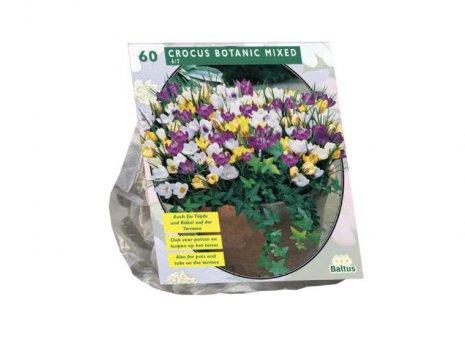 Crocus botanic mixed