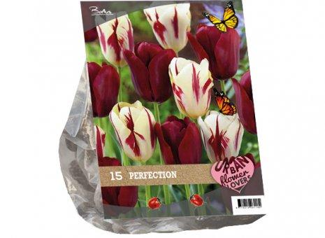 Tulipa perfection