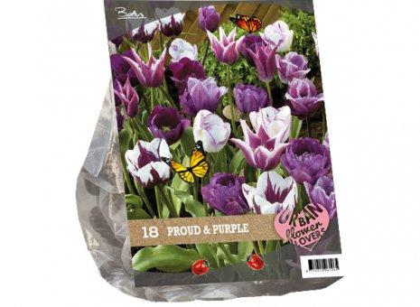 Tulipa proud purple