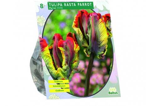 Tulipa rasta parrot