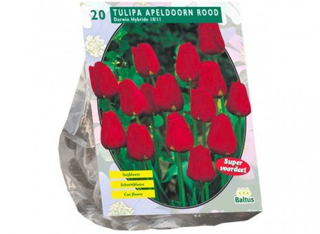 Tulipa rood Apeldoorn