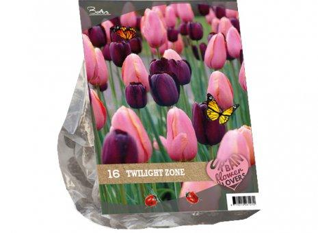 Tulipa twilight zone
