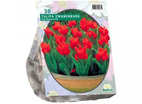 Tulipa Zwanenburg