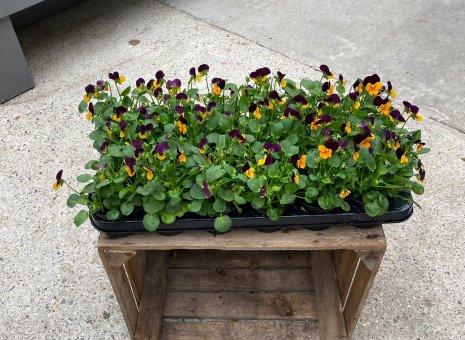 klein bloemige violen